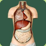 organ health