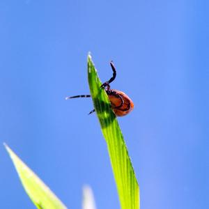 Lyme tick
